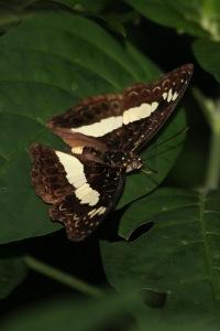 Euptera pluto