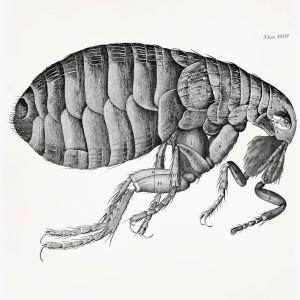 Hooke_Micrographia_flea_1280