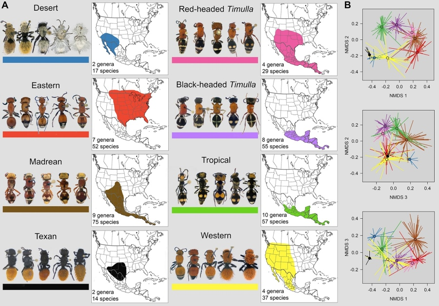 The eight mimicry rings found in North American velvet ants. Morphological & geographic ranges of the 8 velvet ant mimicry rings. Each mimicry ring represented by 5 species, which are morphologically closest to the estimated mean for each mimicry ring