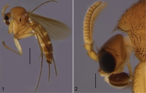 Cordyla monticola sp.New fungus gnat species.  Scale bars: 1 mm (1) and 0.2 mm (2).