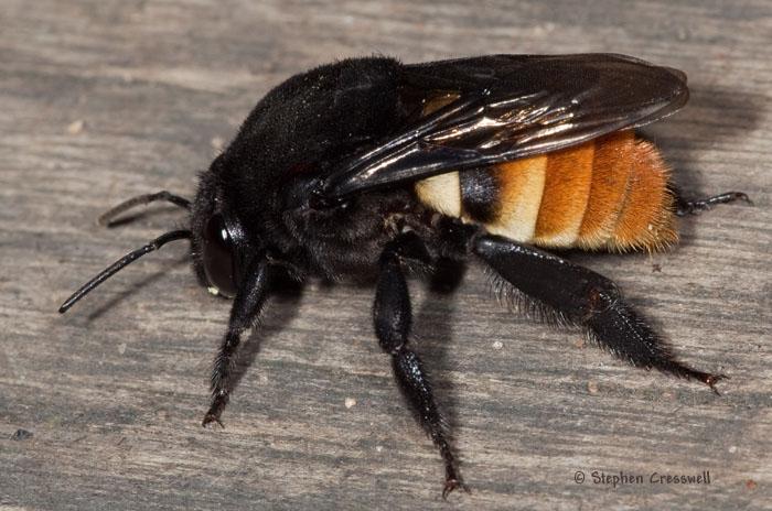 eulaema-marcii-pseudocingulata-lateral