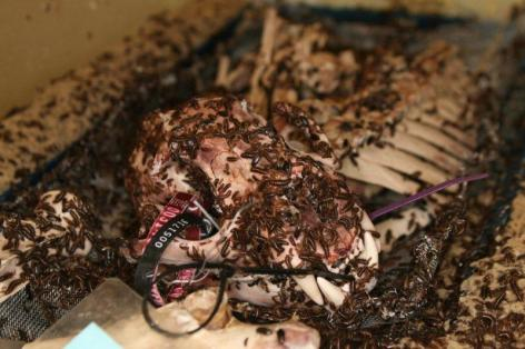 Dermestid_Beetles_Cleaning_a_Skull