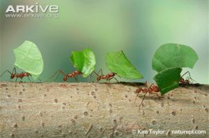 Leaf-cutter-ants-carrying-leaves-back-to-the-nest