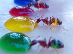 colored water and ants