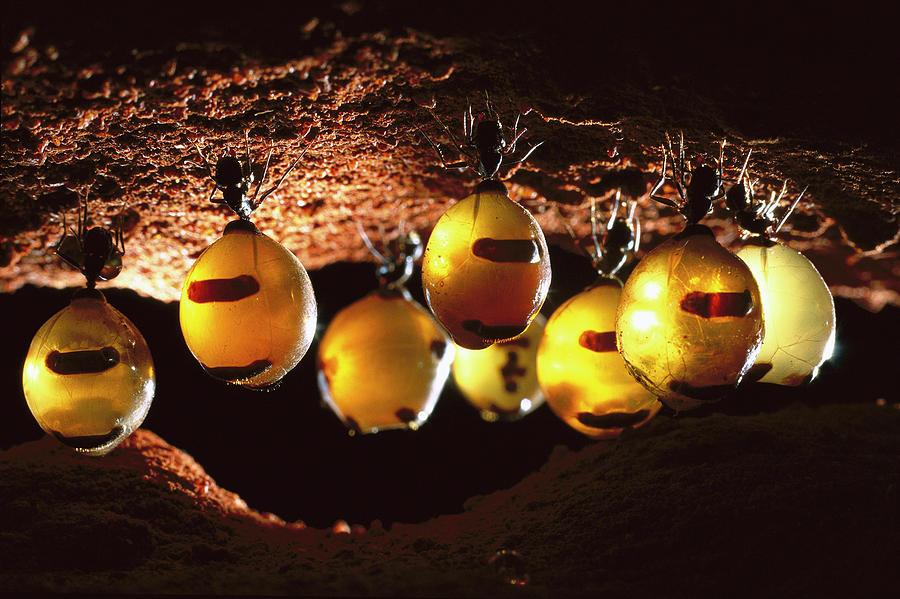 honeypot ants hanging