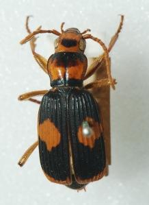 Pheropsophus verticalis