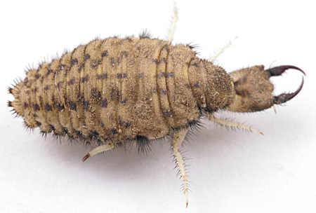 antlion larvae 2