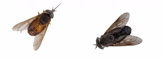 two-horse-flies-630x228