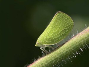 homoptera-fulgoroidea