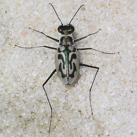 easter beach tiger beetle