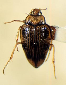 Hungerford's crawling water beetle