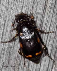 nicrophorus-pustulatus