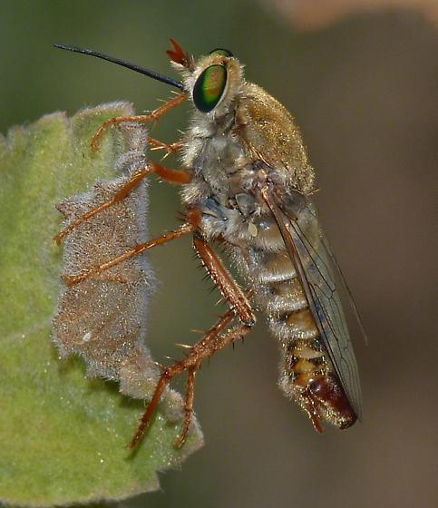 sand loving fly