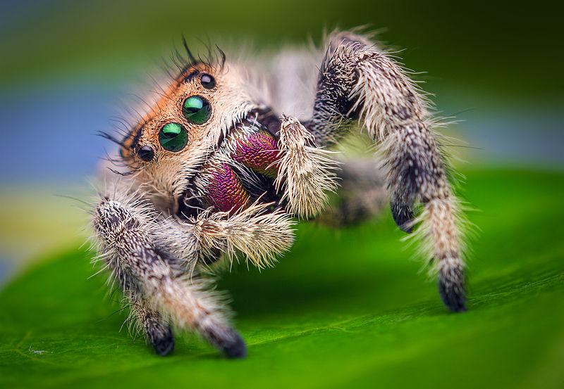 800px-Female_Jumping_Spider_-_Phidippus_regius_-_Florida