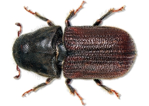mountain-pine-beetle