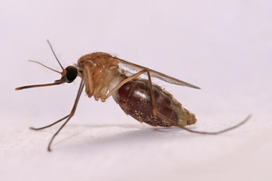Anopheles_gambiae_Mosquito